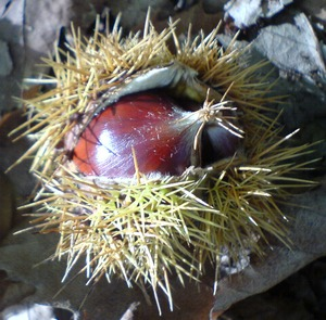 Sweet Chestnut from Oxleas Woods