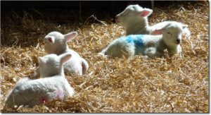 woodlands farm lambs
