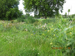 Wildflower Meadow at Peckham Rye Park