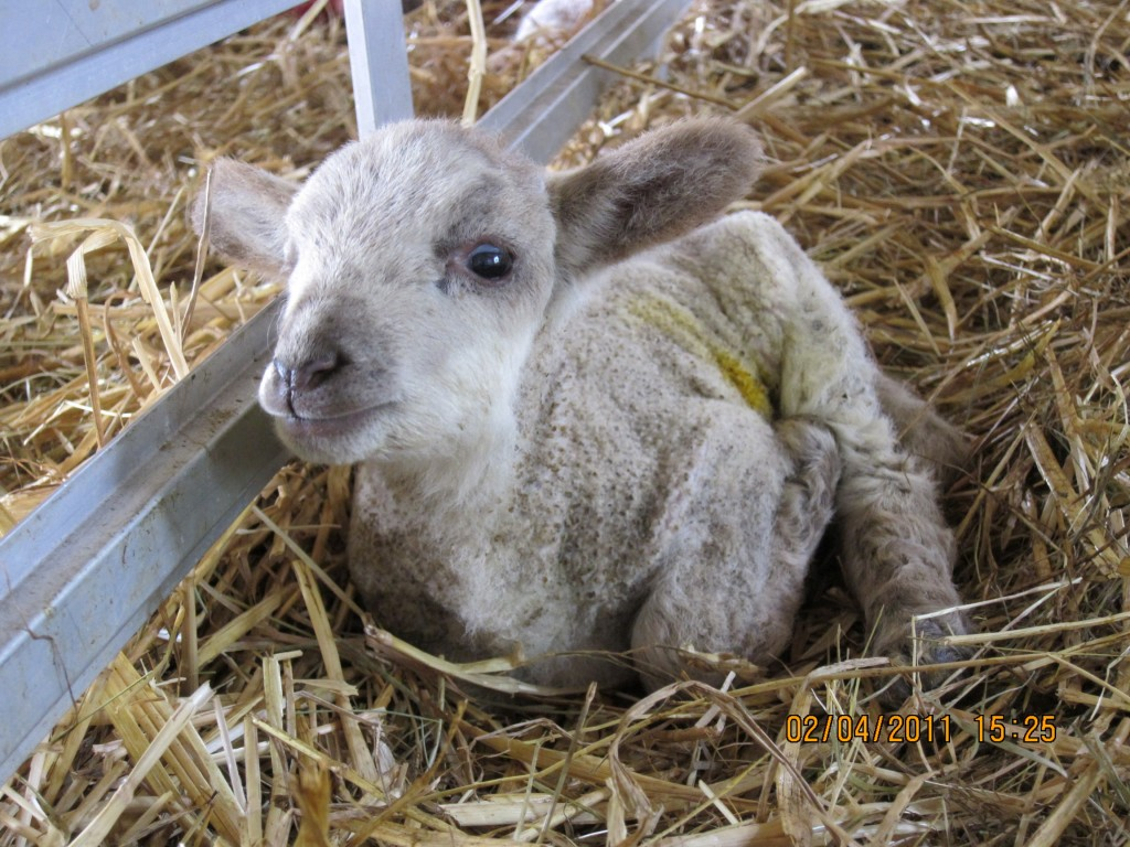 Lamb at Woodlands Farm