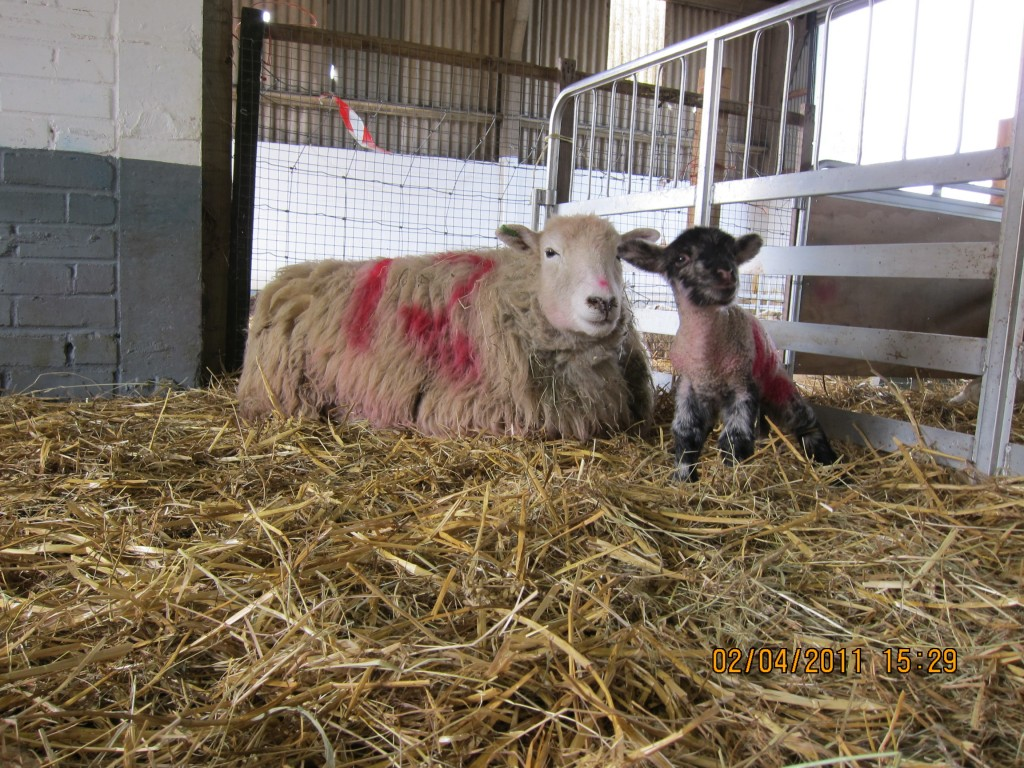 Lamb and its mother at Woodlands farm