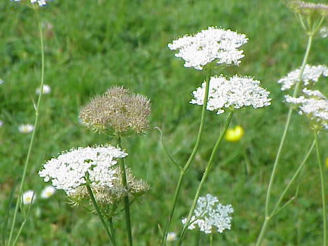 wikipedia commons image of the Corky Fruited Water Dropwort