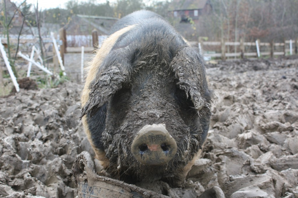 Bluebell the Saddleback pig at Woodlands Farm