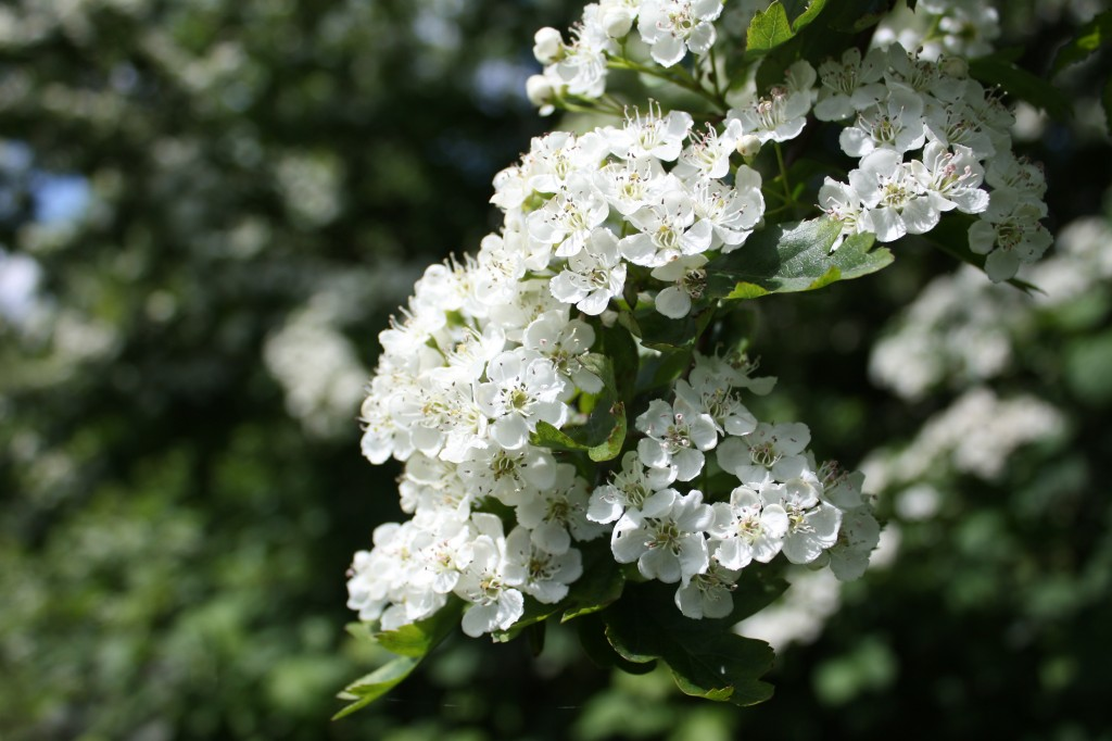 Hawthorn blossom on Woolwich Common