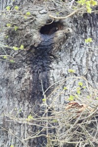 Possible Bat roost hole in Shrewsbury Park tree