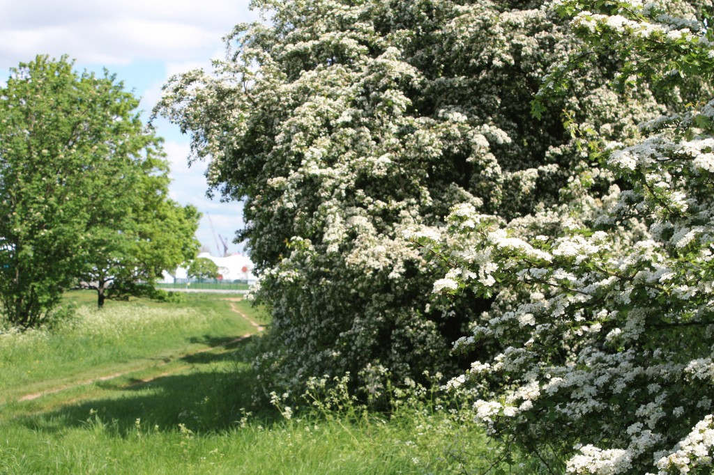 Hawthorn blossom on Woolwich Common with Olympic venue in background