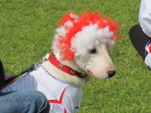 Bull Terrier in fancy dress