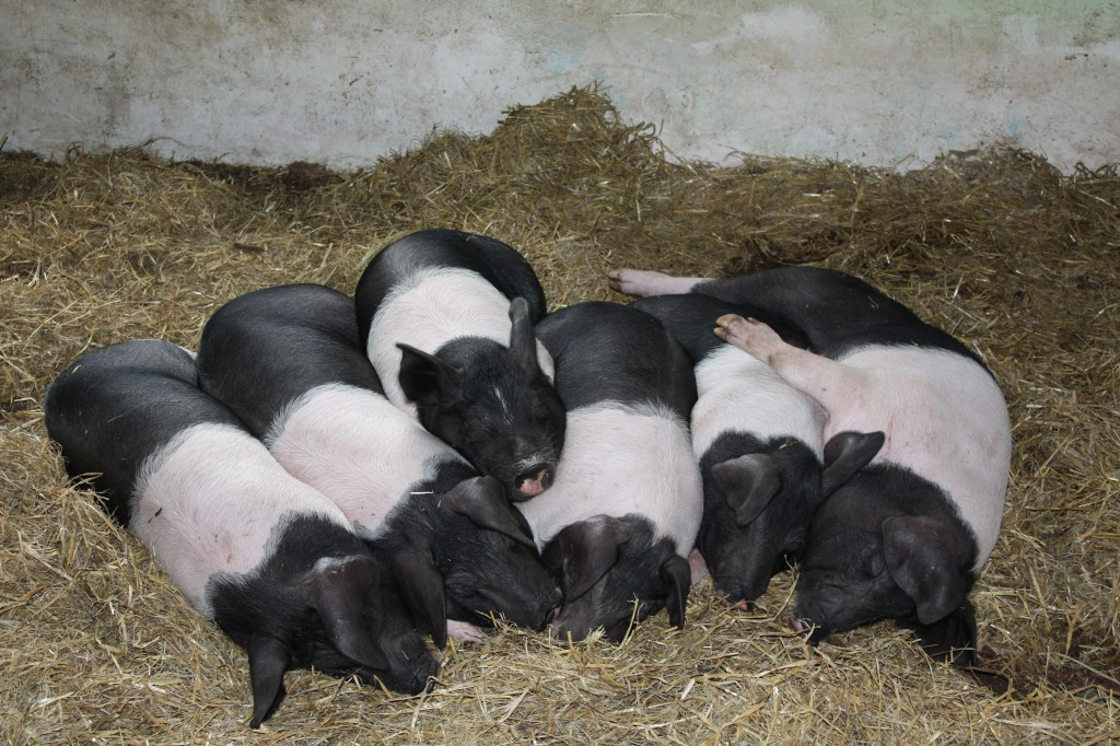 Saddleback piglets relaxing