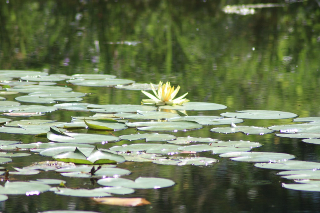 First Lilly flower on Eaglesfield Park Lilly Pond