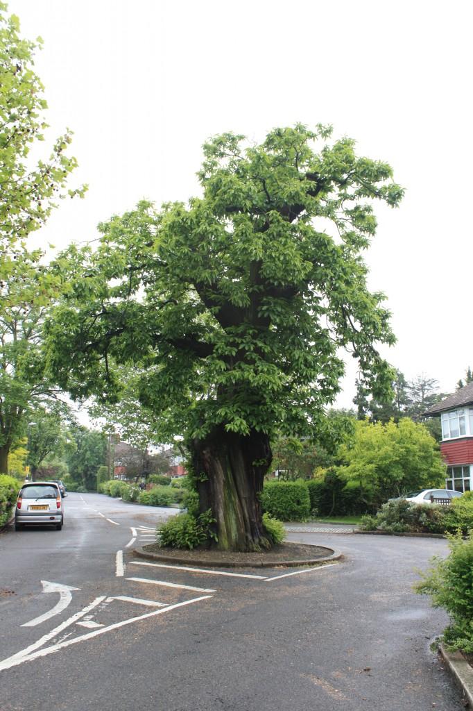 Old Chestnut Tree in Ashridge Cresecent