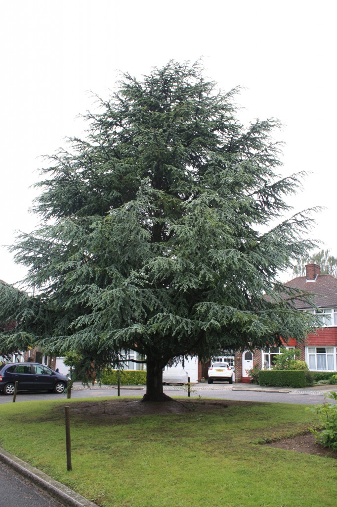 Cedar Tree in Ashridge Crescent