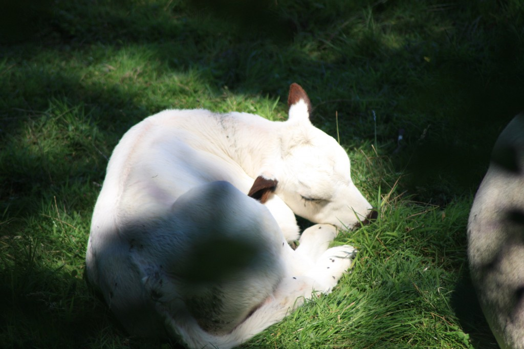 Olympus, newly born British White calf