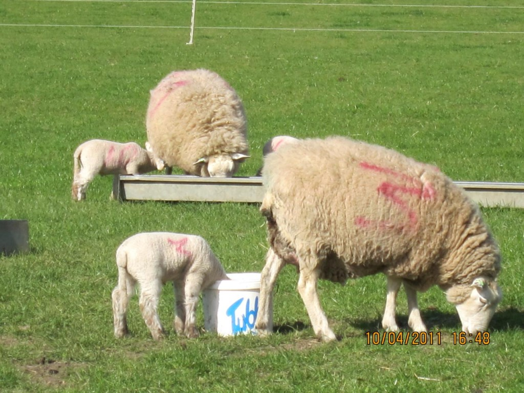 Ewes and their lambs at Woodlands Farm
