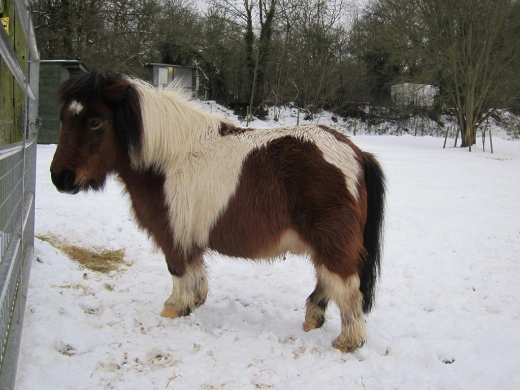 Bob the pony in the snow