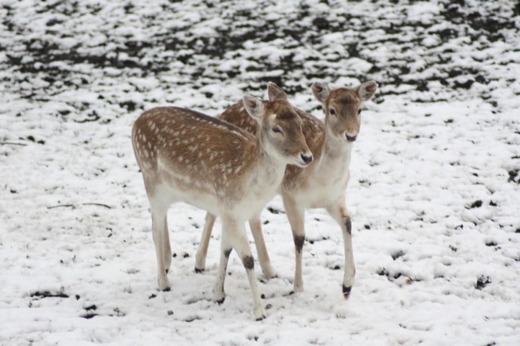 Deer at Maryon Wilson Park