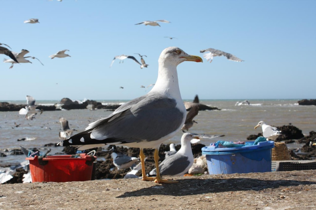 Yellow-footed Gull at Essaouira