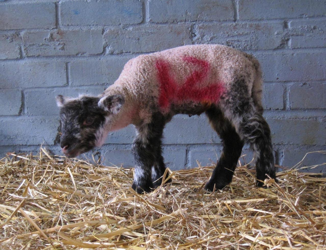 Lamb at Woodlands Farm