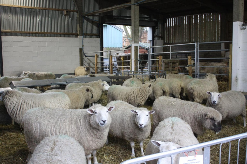 Pregnant Ewes in the barn at Woodlands Farm