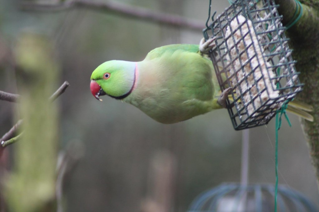 Ring-necked Parakeet feeding at Woodlands Farm