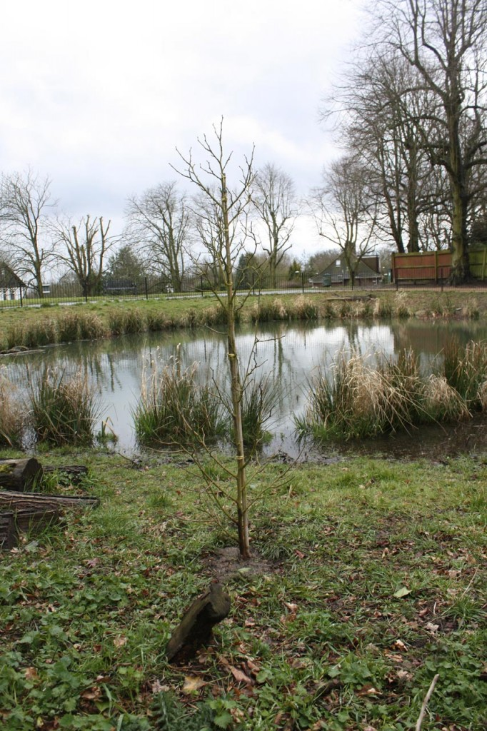 A new tree at Eaglesfield Pond