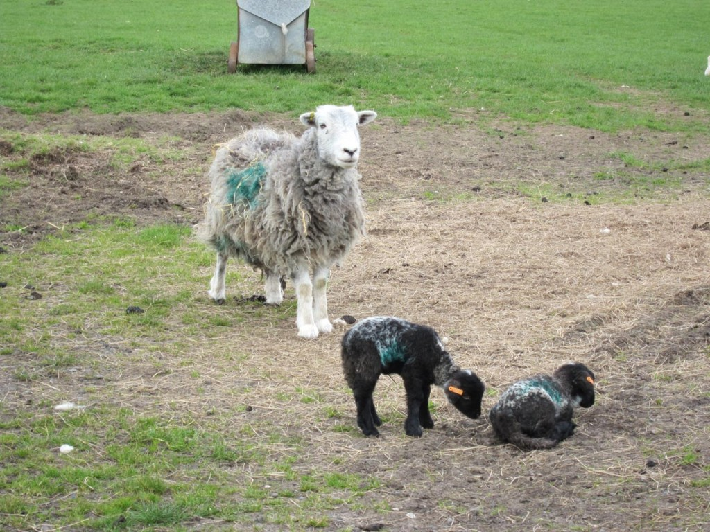 Hetty and her lambs, the last lambs of Woodlands Farm 2013 lambing season
