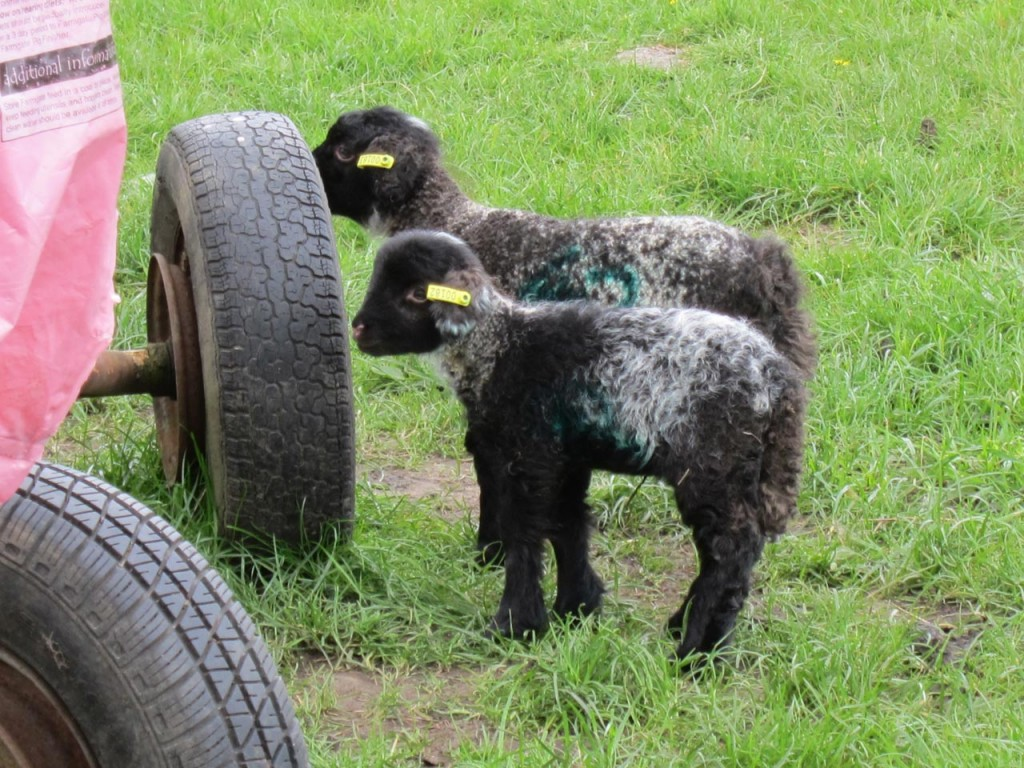 Hetty's last lambs