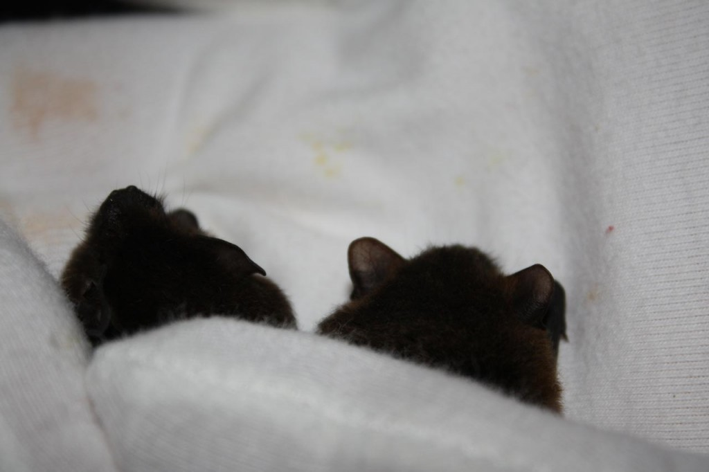 Pair of Pipistrelles under a thumb