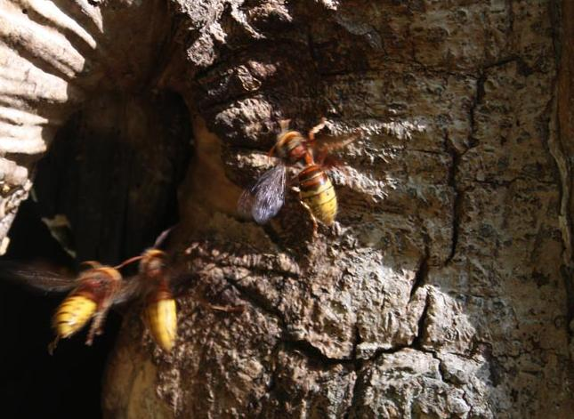 Hornets' Nest in Oxleas Wood
