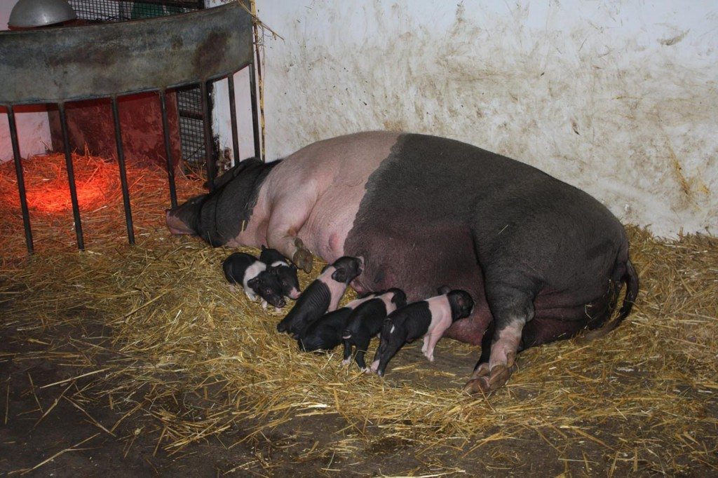 Newly born Saddleback piglets feeding at Woodlands Farm