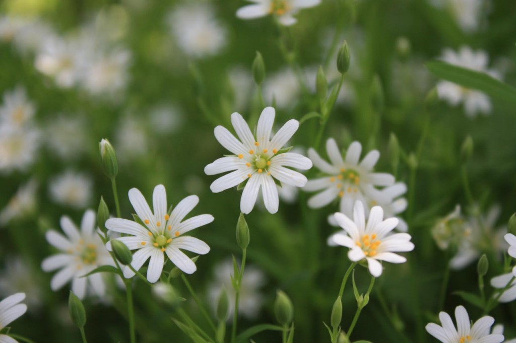 Stitchwort flowers in Oxleas Wood