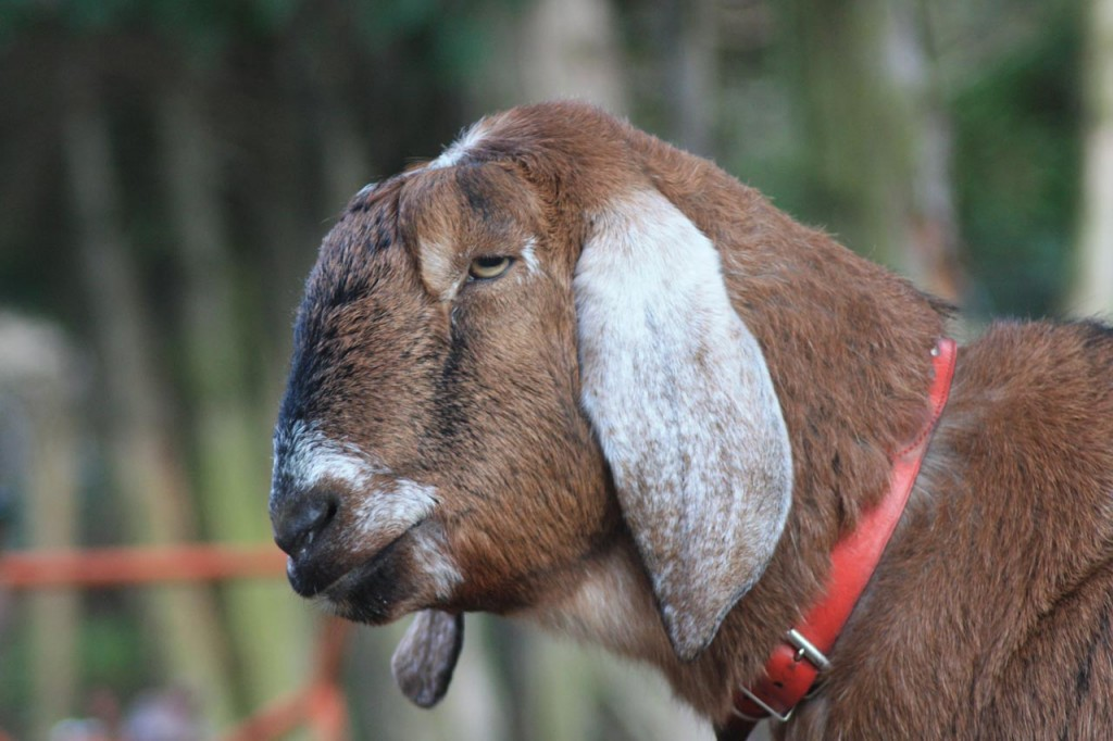 Goat at WideHorizons Environment Centre