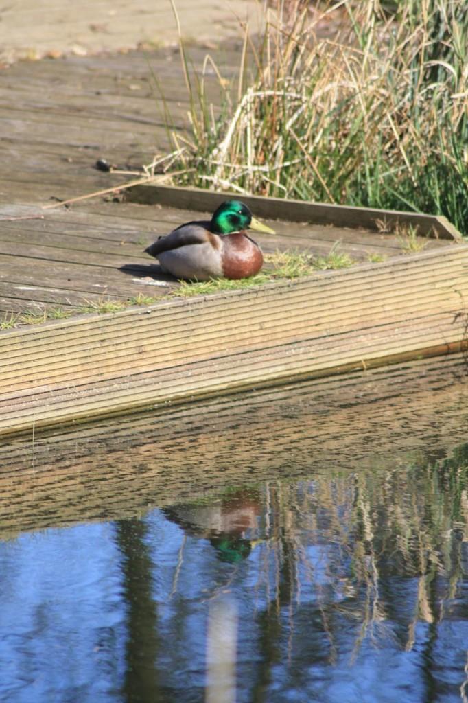 Mallard enjoying the sun at Eaglesfield Park Lilly Pond