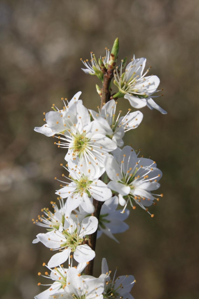 Spring blossom at woodlands Farm