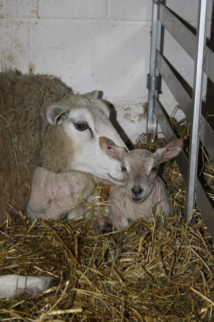 Ewe and her lamb at Woodlands Farm