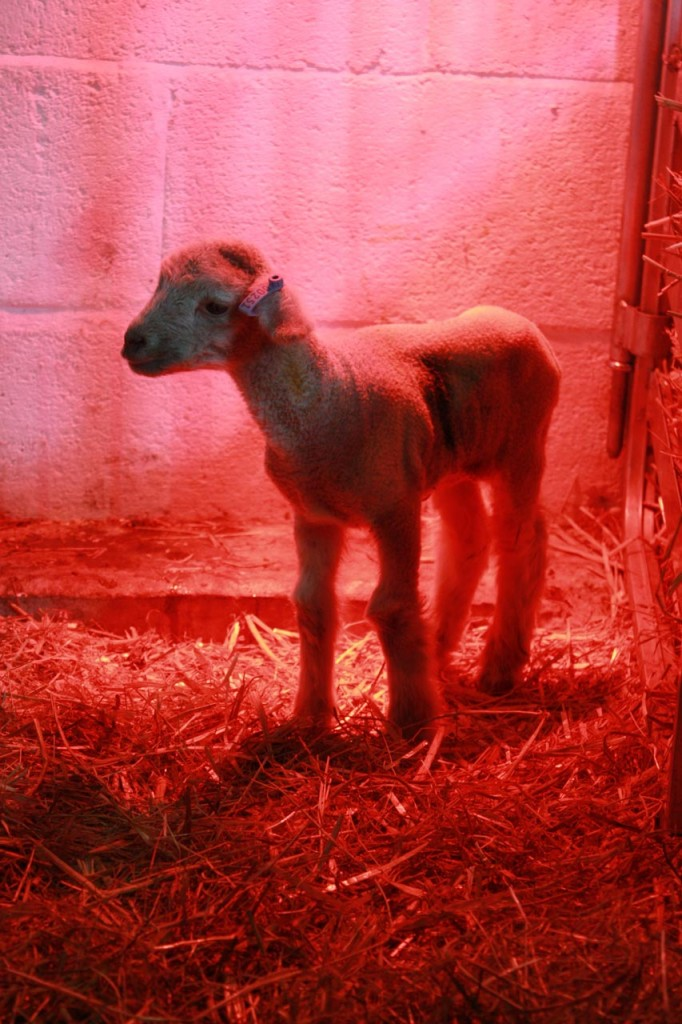 Newly born lamb under a heat lamp