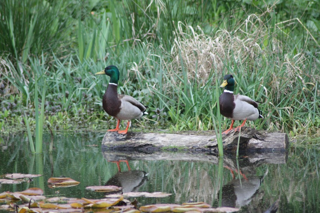 Mallards at Eaglesfield Park Lilly Pond
