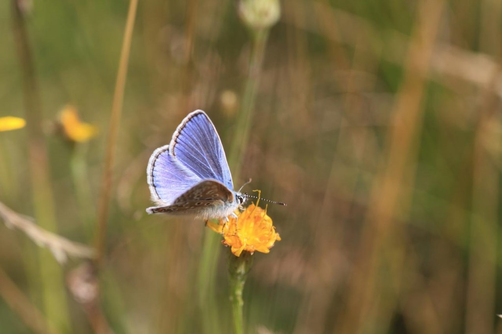 Common Blue butterfly at site of former Falconwood Hotel