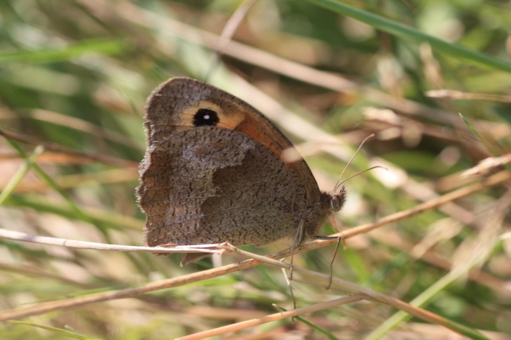 Meadow Brown butterfly at site of former Falconwood Hotel
