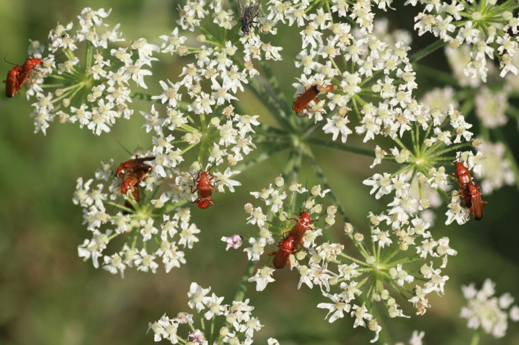 Common Red Soldier Beetle, also known as the Hogweed Bonking Beetle, at Woodlands Farm