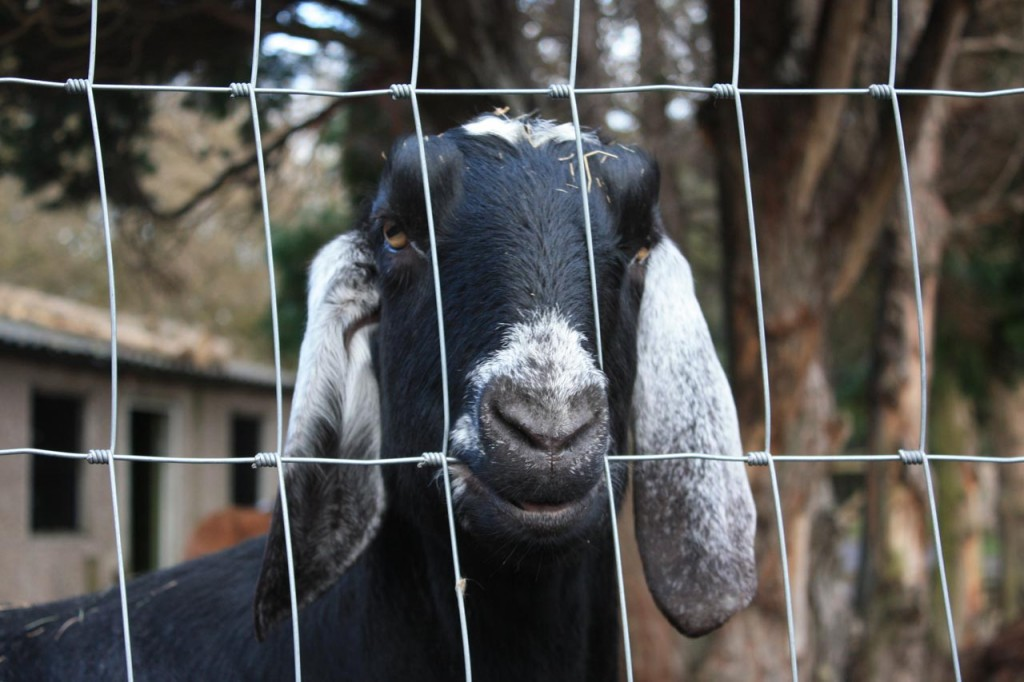 Portrait of a goat at Wide Horizons' Eltham Centre
