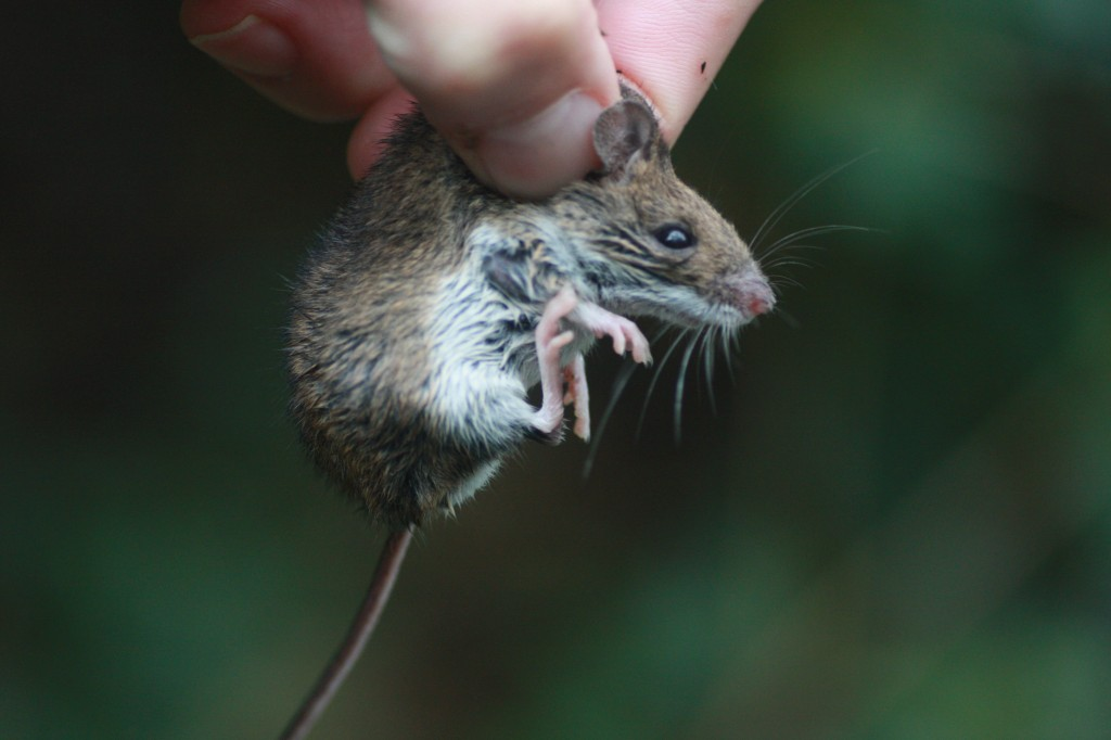 Wood Mouse caught on the Woodlands Farm mammal survey