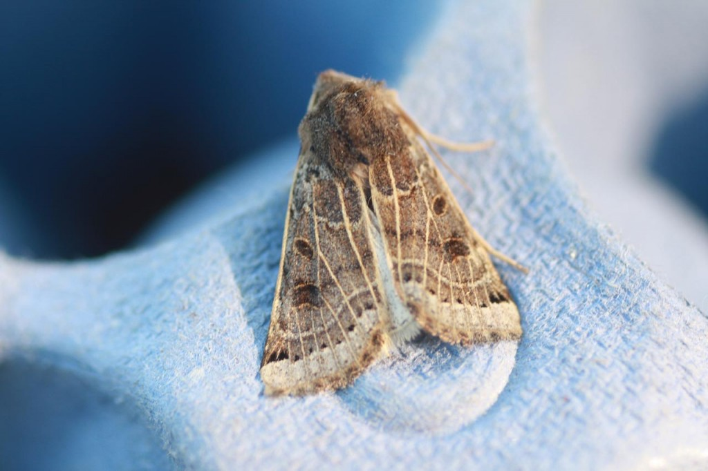 Lunar Underwing Moth seen on Woodlands Farm moth survey