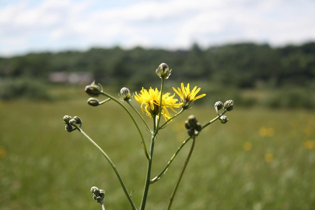 Hawksbeard at Woodlands Farm