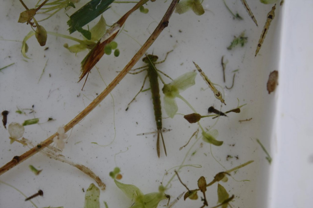 Pond Dipping at Woodlands Farm– Damsel Fly Larva and Phantom Midge Larvae
