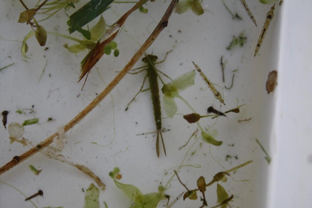Pond Dipping at Woodlands Farm– Damsel Fly Larva and Phantom Midge Larvae