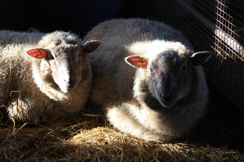 Sheep at Woodlands Farm