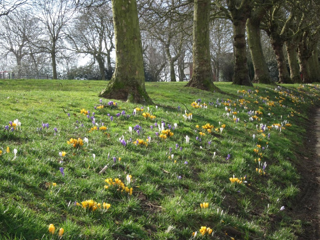 Crocuses in Eaglesfield Park