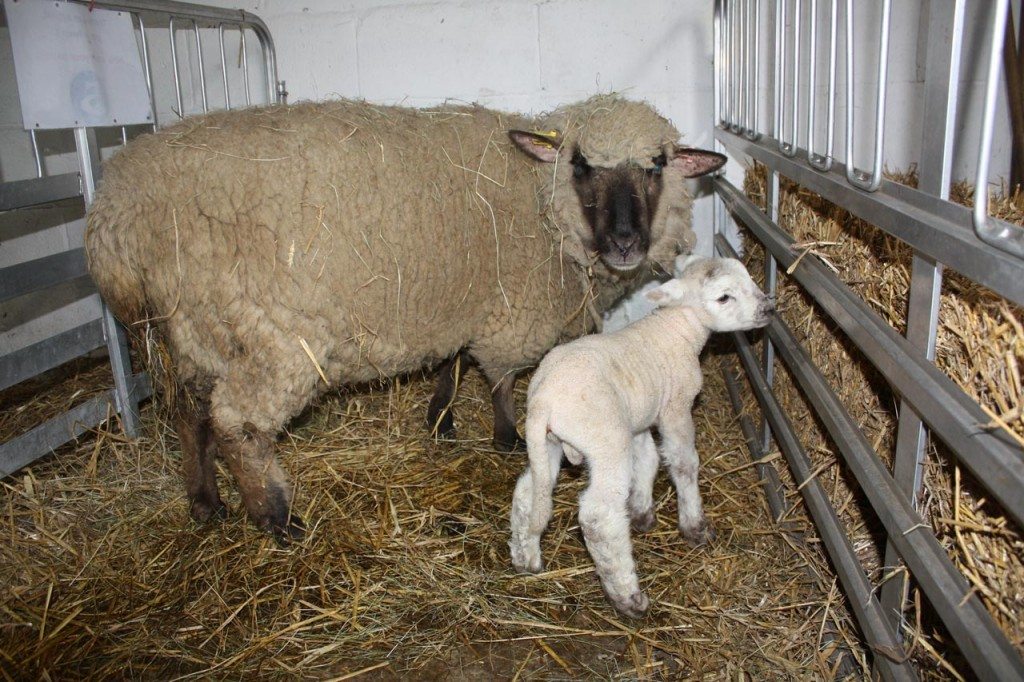 Woodlands Farm's  first lamb of 2015 and his ewe