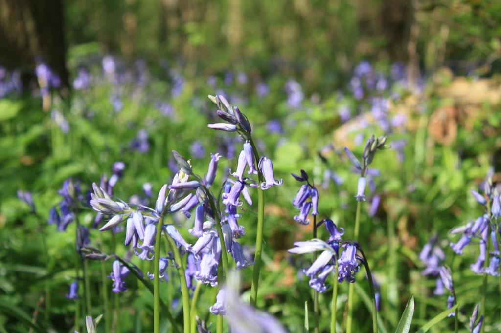 Bluebells  in Oxleas Wood