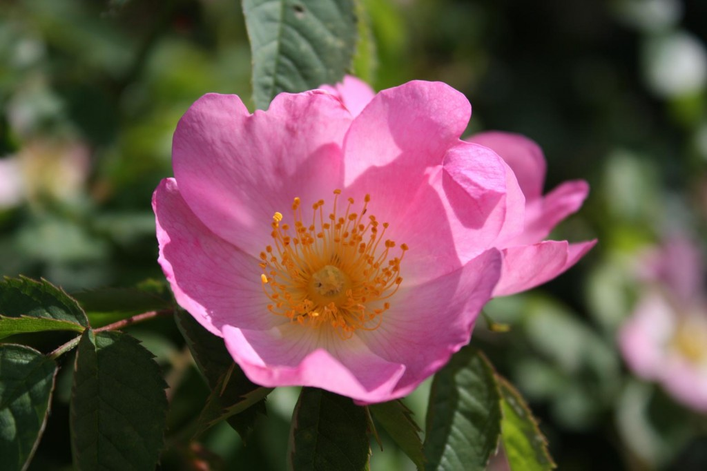 Wild Rose at Woodlands Farm
